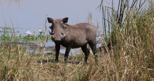 Warthog, phacochoerus aethiopicus, Adult at the Water Hole, Nairobi Park in Kenya, real Time 4K Live Action