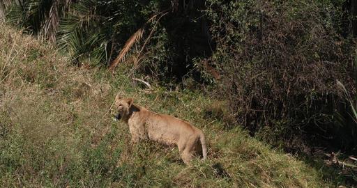 African Lion, panthera leo, Group in Savannah, Nairobi… Stock Video Footage