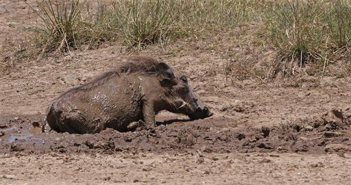 Warthog, phacochoerus aethiopicus, Adult having Mud Bath, Nairobi Park in Kenya, real Time 4K Live Action