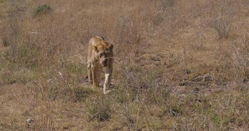African Lion, panthera leo, Walking in Savannah, Nairobi Park in Kenya, Real Time 4K Live Action