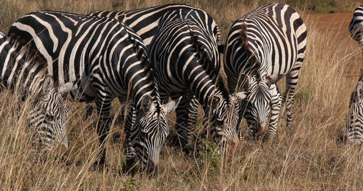 Grant's Zebra, equus burchelli boehmi, Herd heating grass at Nairobi Park in Kenya, Real Time 4K Live Action