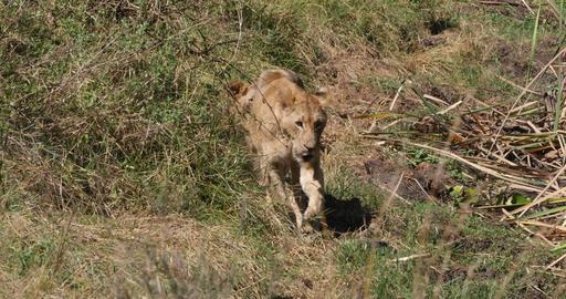African Lion, panthera leo, Group in Savannah, Nairobi Park in Kenya, Real Time 4K Live Action
