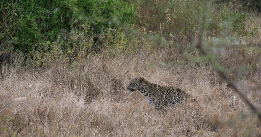 Leopard, panthera pardus, Adult standing in High Grass, Tsavo Park in Kenya, Yawning, Real Time 4K Live Action