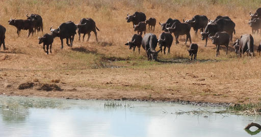 African Buffalo, syncerus caffer, Herd drinking at Water Hole, Tsavo Park in Kenya, Real Time 4K Live Action
