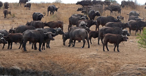 African Buffalo, syncerus caffer, Herd standing in Savannah, Tsavo Park in Kenya, Real Time 4K Live Action