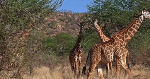 Masai Giraffe, giraffa camelopardalis tippelskirchi, Group walking through Bush, Tsavo Park in Live Action
