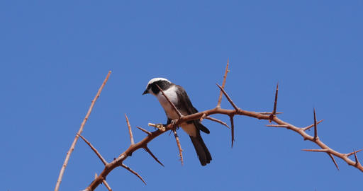 Northern White-crowned Shrike, eurocephalus rueppelli, Adult with Insect in its Beak, Tsavo Park in Live Action