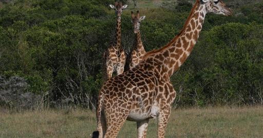 Masai Giraffe, giraffa camelopardalis tippelskirchi, Adults Fighting, Masai Mara Park in Kenya, real Live Action