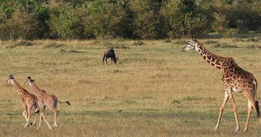 Masai Giraffe, giraffa camelopardalis tippelskirchi, Mother and Calf walking through Savannah, Masai Live Action