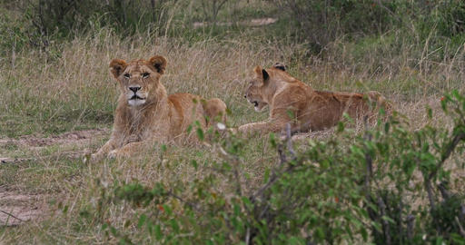 African Lion, panthera leo, Youngs in Savannah, Nairobi Park in Kenya, Real Time 4K Live Action