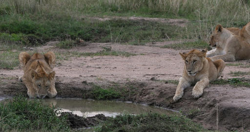 African Lion, panthera leo, cub drinking at the Water hole, Nairobi Park in Kenya, Real Time 4K Live Action