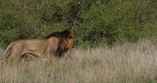 African Lion, panthera leo, Male walking through Savannah, Nairobi Park in Kenya, Real Time 4K Live Action
