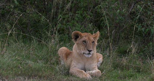 African Lion, panthera leo, Cub laying , Nairobi Park in Kenya, Real Time 4K Live Action