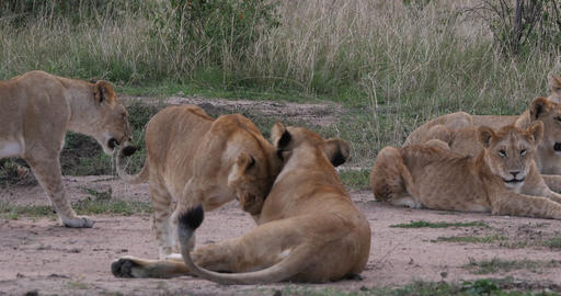 African Lion, panthera leo, Mother and Cub, tenderness, Nairobi Park in Kenya, Real Time 4K Live Action