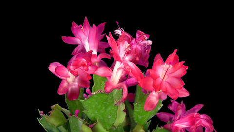 Rotating red Christmas cactus, ALPHA matte, endless loop 4 Stock Video Footage