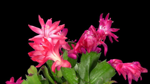 Rotating red Christmas cactus, ALPHA matte, endless loop 4 Footage