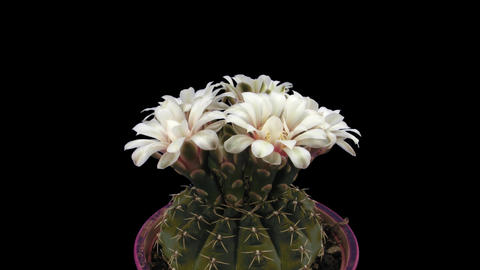 Time-lapse of white cactus bud opening 3b with ALPHA matte Stock Video Footage