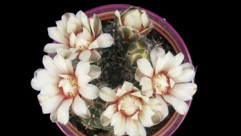 Time-lapse of white cactus bud opening 5b isolated black top Stock Video Footage
