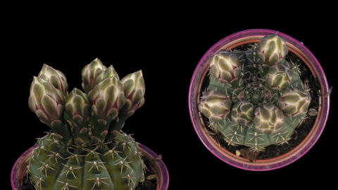 Time-lapse white cactus opening 6d isolated black two... Stock Video Footage