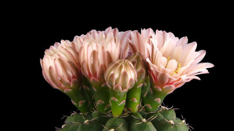 Time-lapse of pink cactus buds blooming 8 isolated on black Stock Video Footage