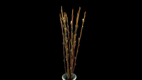 Time-lapse of growing willow catkins isolated on black 4 Stock Video Footage