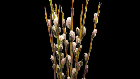 Time-lapse of growing willow catkins isolated on black 4 Footage