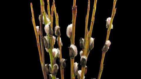 Time-lapse of growing willow catkins isolated on black 7 Stock Video Footage