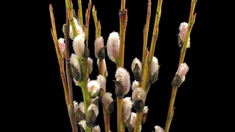 Time-lapse of growing willow catkins isolated on black 7 Footage