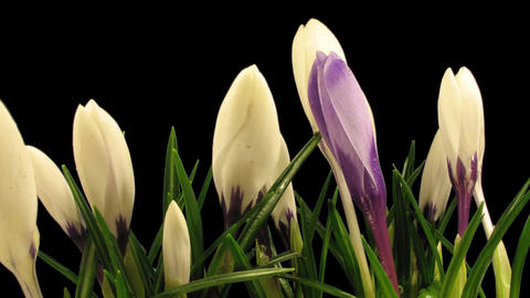 Time-lapse of growing multicolor crocuses 6 isolated on... Stock Video Footage