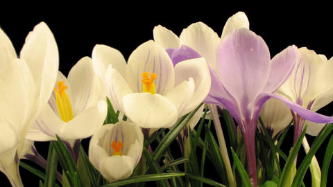 Time-lapse of growing multicolor crocuses 6 isolated on black Footage