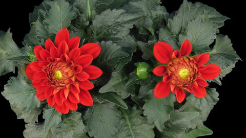 Time-lapse of blooming red dahlia 3 isolated on black top Stock Video Footage