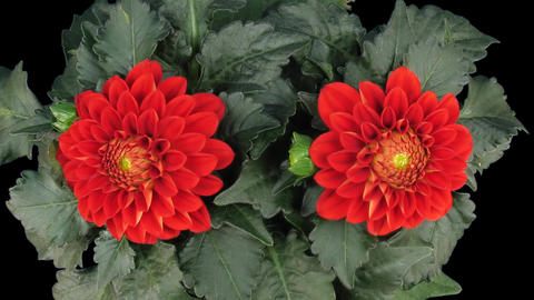 Time-lapse of blooming red dahlia 3 isolated on black top Footage