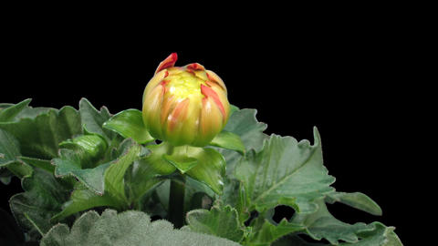 Time-lapse of blooming red dahlia 5 isolated on black front Stock Video Footage