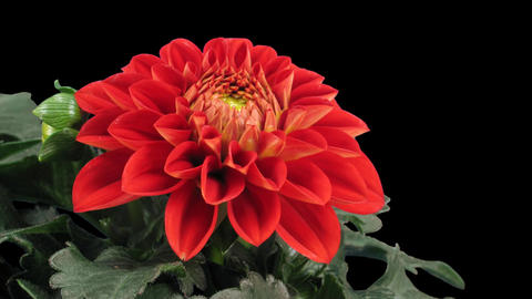 Time-lapse of blooming red dahlia 5 isolated on black front Footage