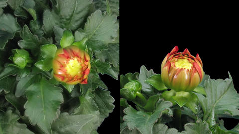 Time-lapse blooming red dahlia 7d isolated black two synchronised cameras Footage