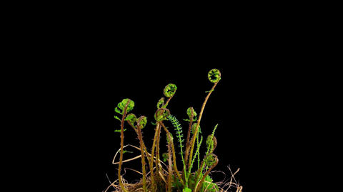 Time-lapse of growing baby fern plants 1 isolated on black Stock Video Footage