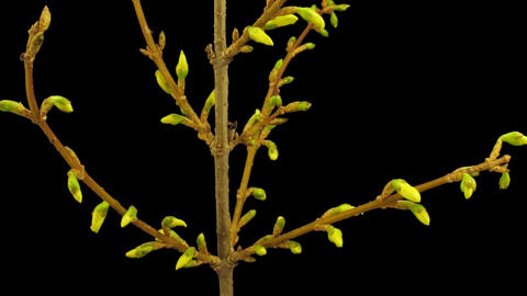 Time-lapse of opening forsythia flowers isolated on black 1b Stock Video Footage