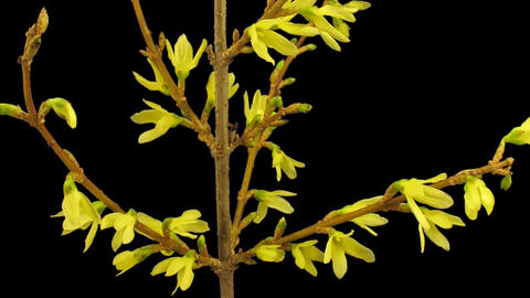 Time-lapse of opening forsythia flowers isolated on black 1b Footage