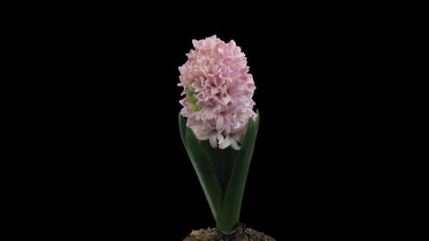 Time-lapse of growing pink hyacinth Christmas flower 3 isolated black Footage