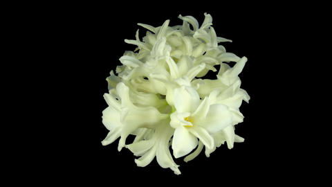 Time-lapse dying white hyacinth Christmas flower 1... Stock Video Footage