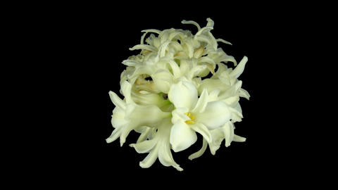 Time-lapse dying white hyacinth Christmas flower 1 isolated black top Footage