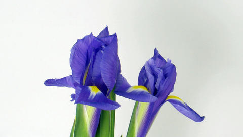 Time-lapse of opening and fading iris flowers 1 Stock Video Footage