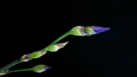 Time-lapse of growing blue iris flower 3 Stock Video Footage