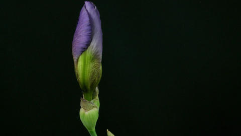 Time-lapse of growing blue iris flower 5 Stock Video Footage