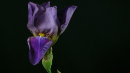 Time-lapse of growing blue iris flower 5 Footage