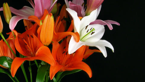 Time-lapse of orange lily opening in bouquet Stock Video Footage