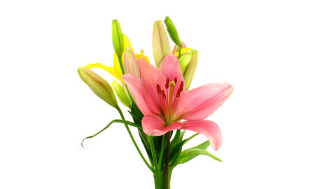 Time-lapse of opening colorful lily bouquet isolated on white 4 Footage