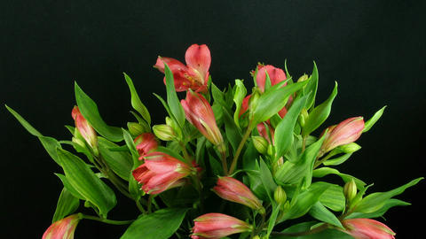 Time-lapse of opening pink peruvian lilies 1 Stock Video Footage