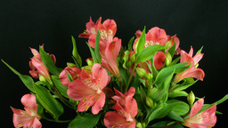 Time-lapse of opening pink peruvian lilies 1 Footage