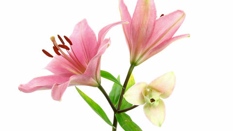 Time-lapse of opening pink lilies 5 Stock Video Footage